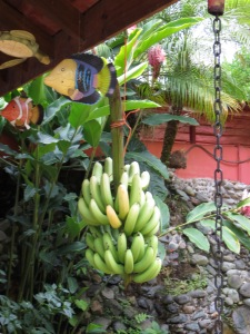 Bananas hanging to fully ripen