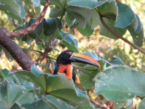 A Fiery-billed Aracari in a tree next to our pool