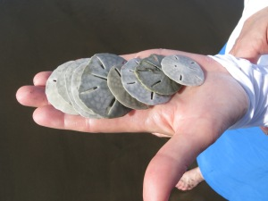Just some of the sand dollars Ellen found at the beach