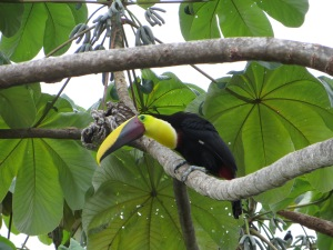 Toucan perched in the tree by the pool