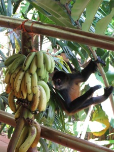 Going in for bananas!