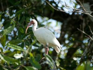 A White Ibis