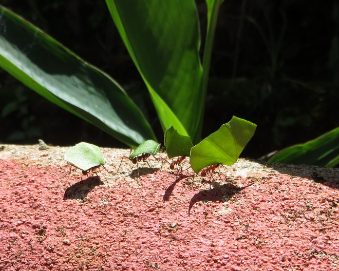 The Leaf-cutter ant can carry up to 20 times its own weight!