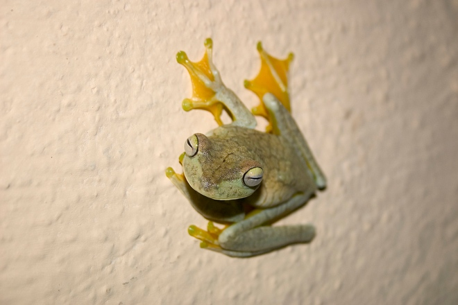 Cool frog climbing on the wall outside our door at night