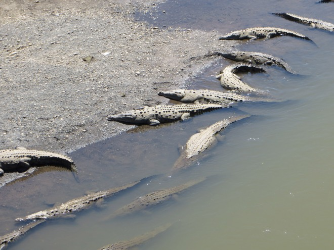 Crocodiles at the Tarcoles River