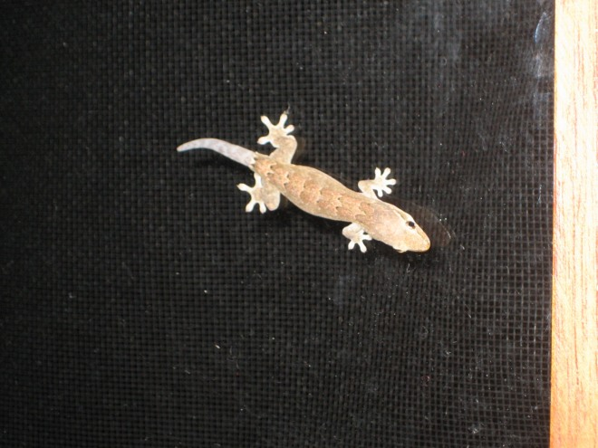Gecko - good for eating lots of insects!