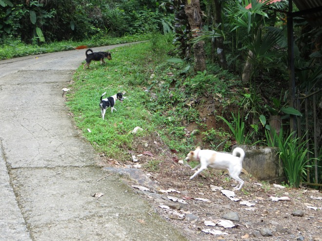 All 3 dogs, Lucas, Chiquita & Paloma on a morning walk up our hill
