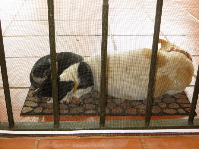 We had a heavy rain for most of the day yesterday.  Chiquita and Paloma were curled up trying to keep warm.