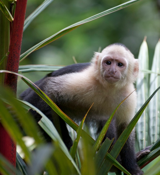 White throated capuchin 2