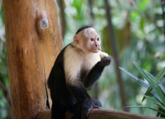 White throated capuchin 3