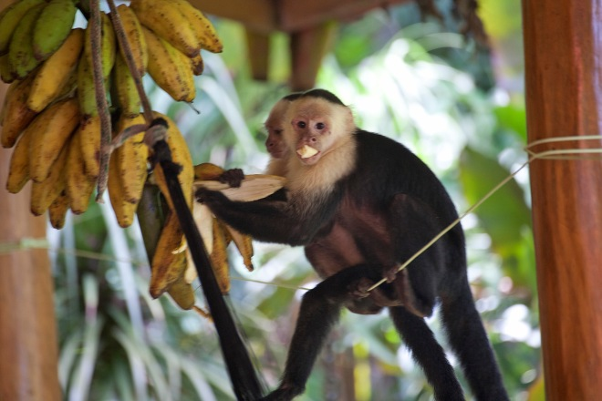 White throated capuchin 4