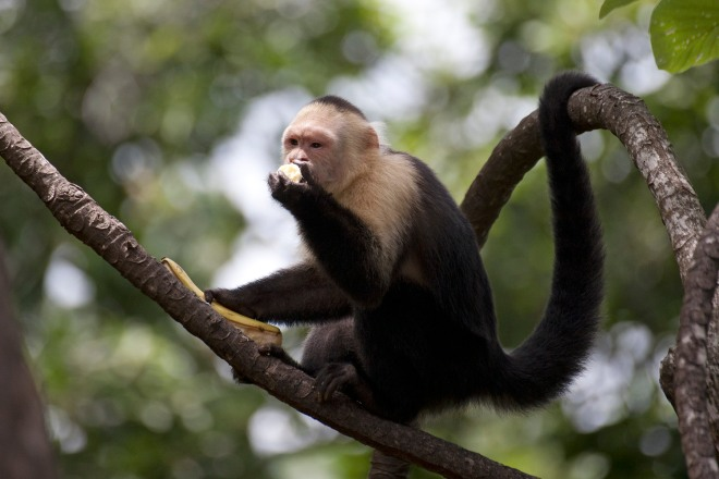 White throated capuchin