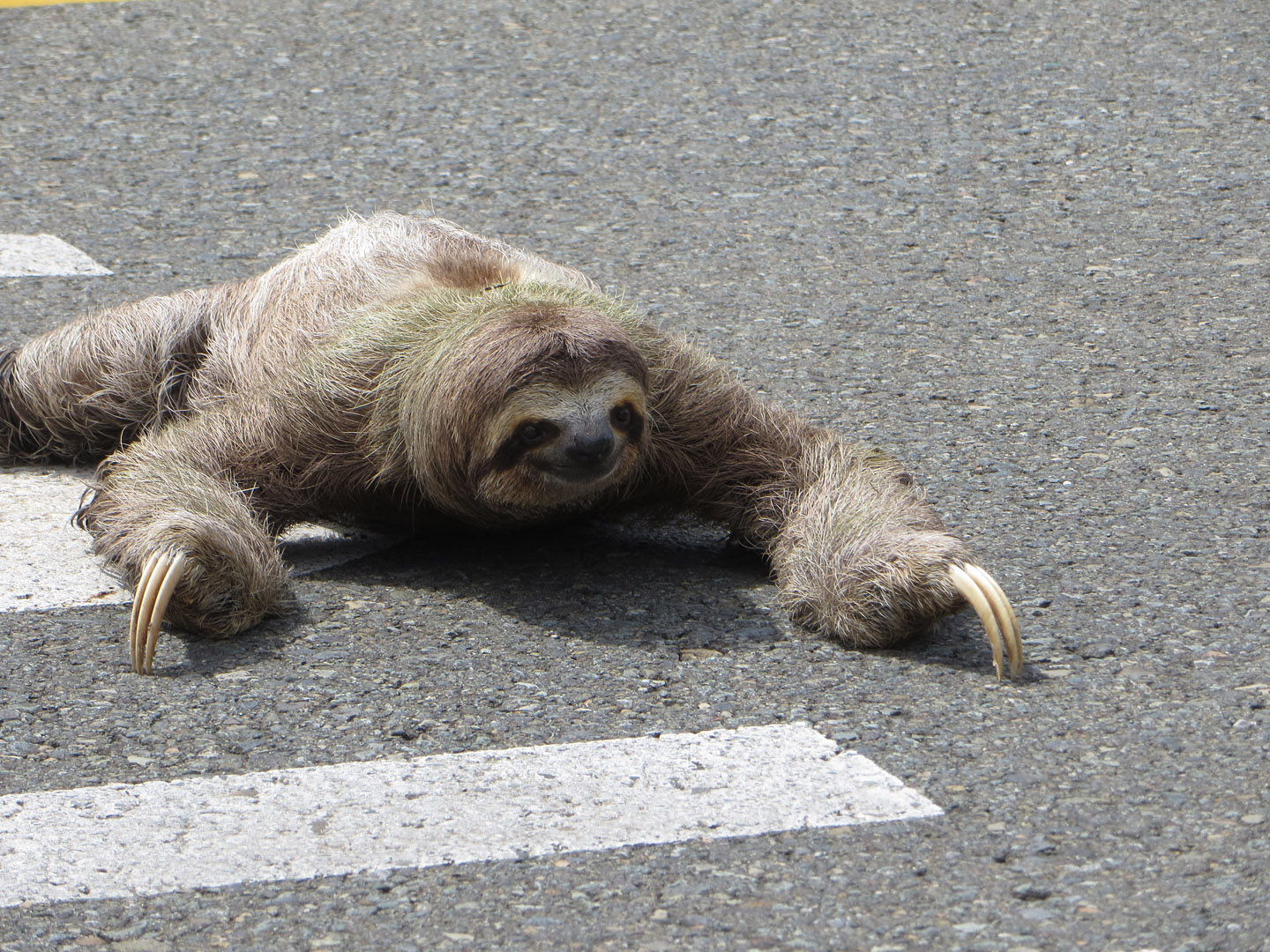 of Nature: Sloth Has Rib-Cage Bones in Its Neck