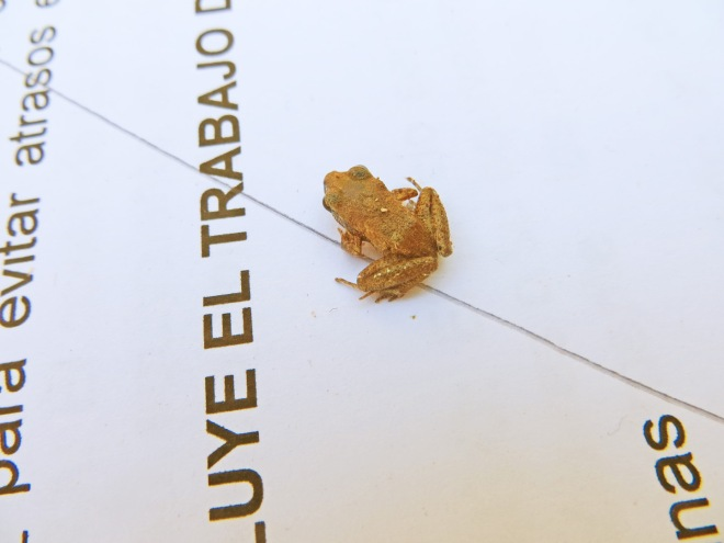 We found this tiny frog on the floor and at first thought it was a piece of dirt.  The text in the photo is standard 12 pt. font.
