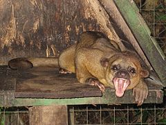 Yawning kinkajou in an animal preserve in Costa Rica
