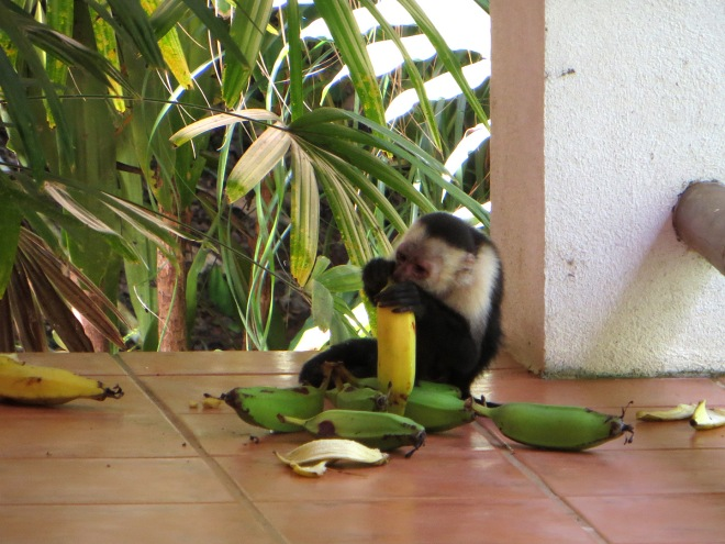 The monkeys came for a snack today.  This little guy should be full after eating this big banana.