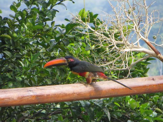 A fiery-billed aracari