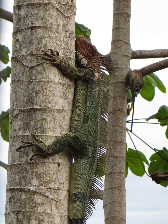 A green iguana in the tree - to keep away from the dogs!